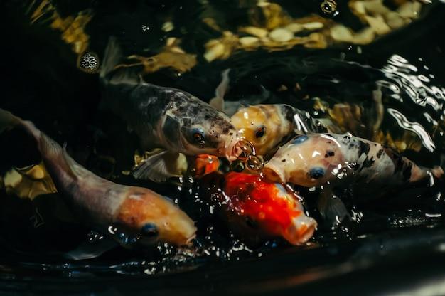 Ausgefallene karpfen oder koi-fische sind rot, orange, weiß, schwarz. ansicht von karpfen - bekko. dekorativer heller fisch schwimmt in einem teich. nahansicht.