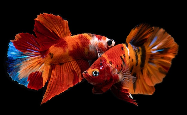Ausgefallener nemo-betta-fisch oder siamesischer kampffisch