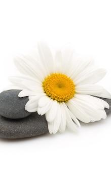 Ausgeglichene spa-steine mit kamillenblüte und weißem hintergrund.