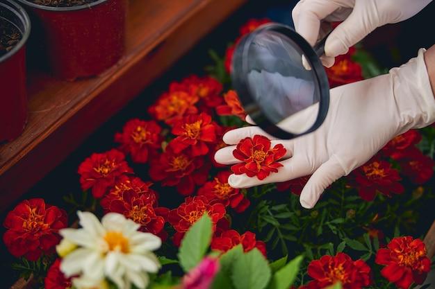 Ausgeschnittenes foto eines biologen, der eine zwischen zeige- und mittelfinger gequetschte ringelblume untersucht