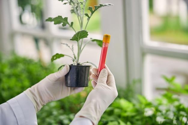 Ausgeschnittenes foto eines biowissenschaftlers, der einen muskatellersalbei-sämling und einen flüssigdünger zeigt