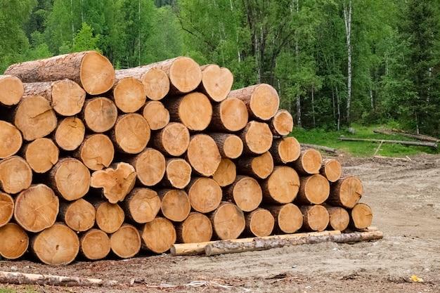 Ausgewählte bäume sind auf einem haufen gestapelt. reinigung des waldes im wald. querschnitt des baumstammes.