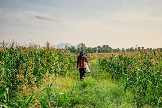 Ausländische arbeiter birmanisch (myanmar oder birma) mieten, um zuckermais zu ernten