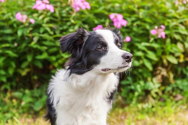 Außenporträt des niedlichen lächelnden welpengrenzcollies, der auf grasblumenhintergrund sitzt. neues schönes familienmitglied kleiner hund, der schaut und auf belohnung wartet. haustierpflege und lustiges tierlebenkonzept.