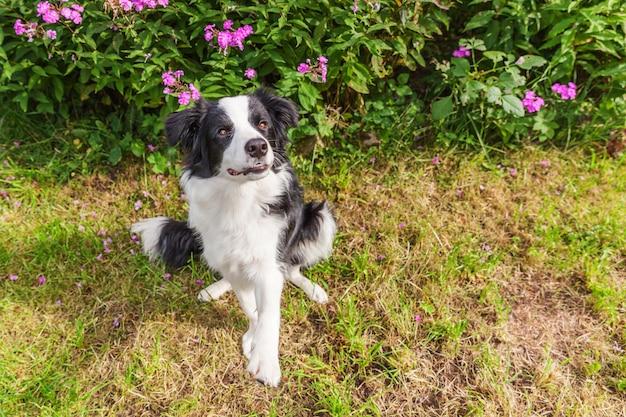 Außenporträt des niedlichen lächelnden welpenrandcollies, der auf grasblume sitzt. neues schönes familienmitglied kleiner hund, der schaut und auf belohnung wartet. haustierpflege und lustiges tierlebenkonzept.