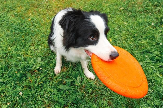 Außenporträt des niedlichen lustigen welpenhunde-grenzcollies, der spielzeug in der luft fängt hund, der mit fliegender scheibe spielt