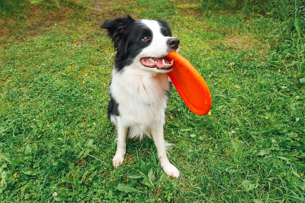Außenporträt des niedlichen lustigen welpenhunde-grenzcollies, der spielzeug in der luft fängt. hund spielt mit fliegender scheibe. sportliche aktivität mit hund im park draußen.