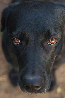 Außenporträt eines schönen schwarzen labradors, der im garten sitzt. haustiere auf der straße. freund des menschen. leiten.
