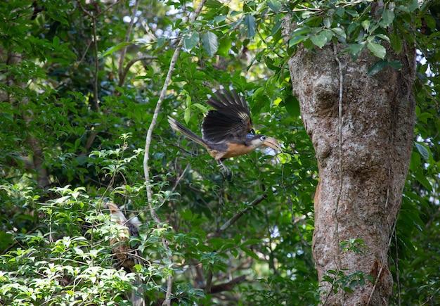 Austens brauner nashornvogel (männlich) fliegt, um nahrung in natürlichen höhlen zu füttern. , khao yai nationalpark thailand.
