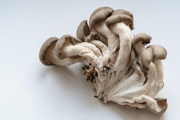 Auster pilze