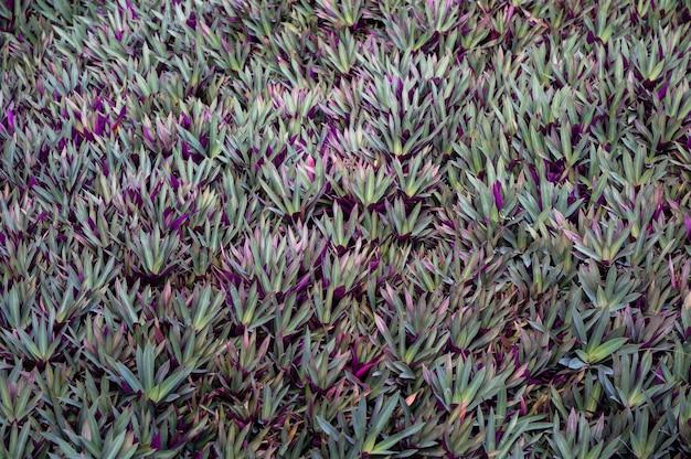 Austernpflanze, wiegenpflanze, büschel der mosespflanze schwertförmige blätter glänzend grün und lila