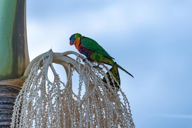 Australian rainbow lorikeet sitzt auf einer palme. tierkonzept.liste