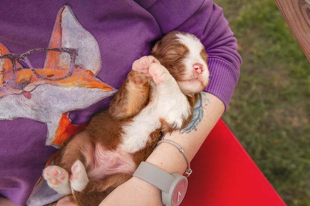 Australian shepherd welpe neugeborener welpe welpe in den händen netter kleiner welpe