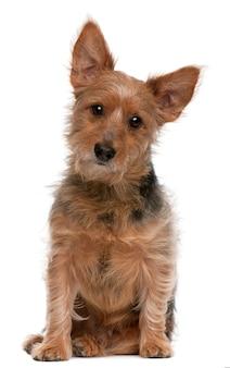 Australian terrier hund, 9 jahre alt, sitzend