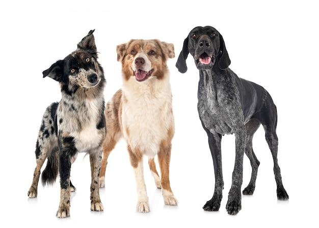 Australische schäferhunde und deutsch kurzhaar