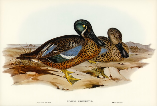 Australische schaufel (spatula rhynchotis) illustriert von elizabeth gould