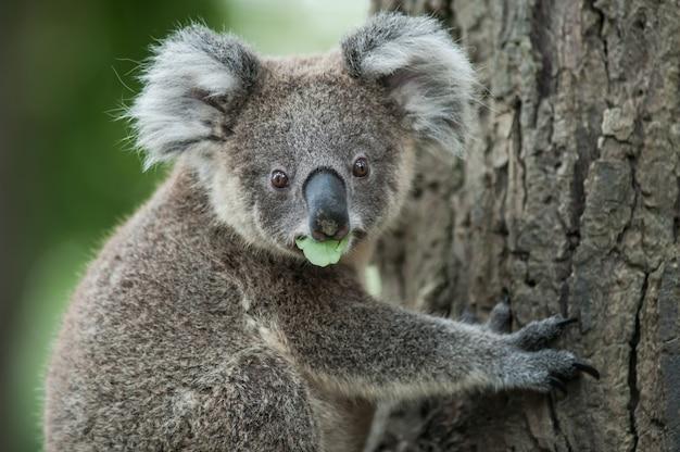 Australischer koala sitzen auf baum, exotisches ikonenhaftes australisches säugetiertier im üppigen dschungelregenwald