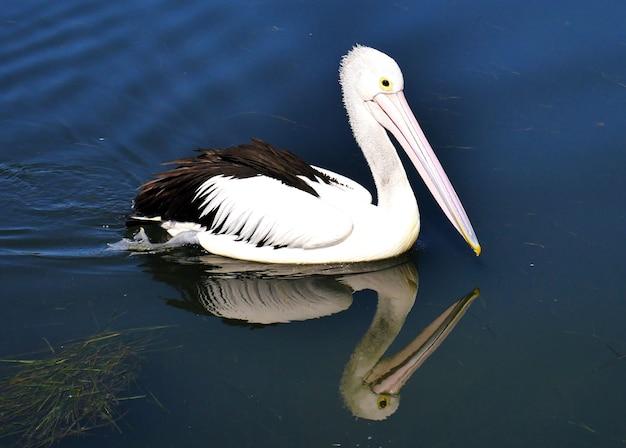 Australischer pelikan auf dem wasser