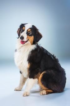 Australischer schäferhund, aussie