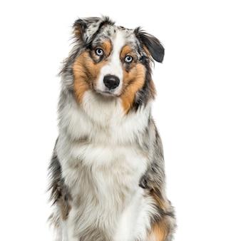 Australischer schäferhund, der kamera gegen weißen hintergrund betrachtet