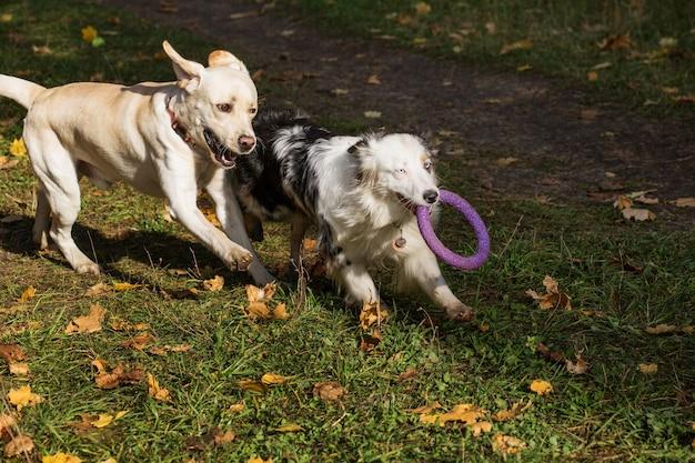 Australischer schäferhund mit abzieher, der mit labrador im herbstwald spielt