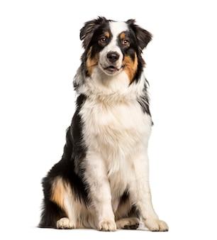 Australischer schäferhund sitzt, ausgeschnitten
