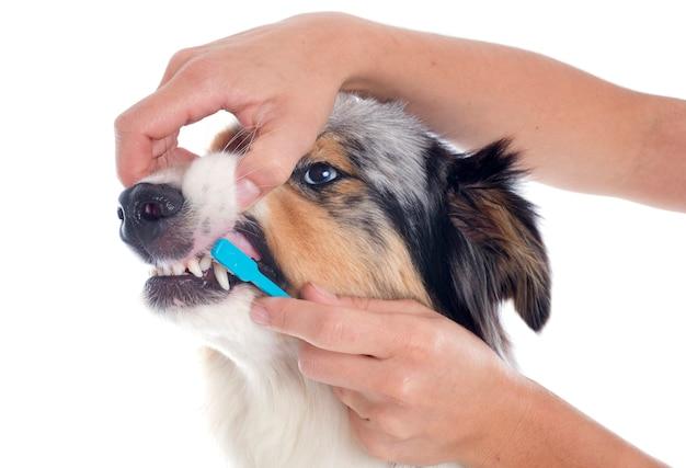Australischer schäferhund und zahnbürste