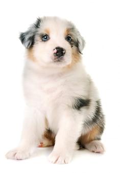 Australischer schäferhund