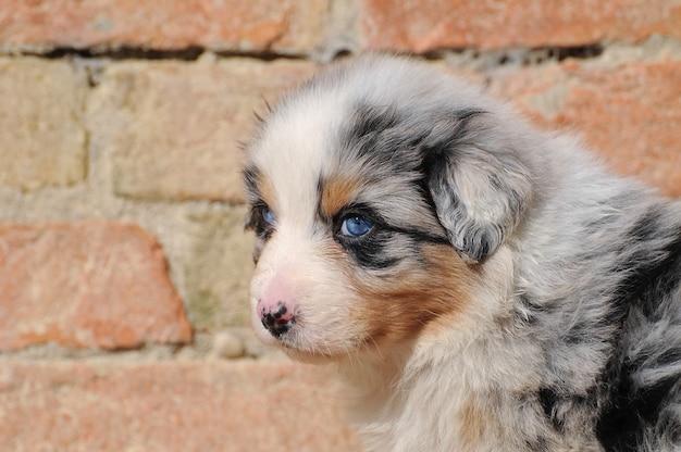 Australischer schäferhundewelpe