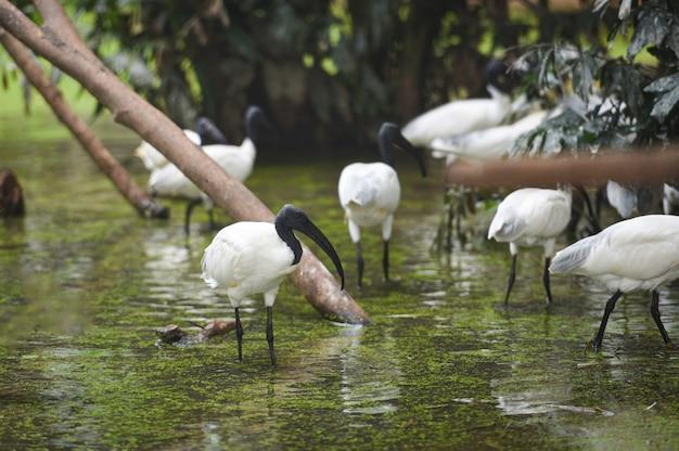 Australischer weißer ibis-vogel im teichfluß