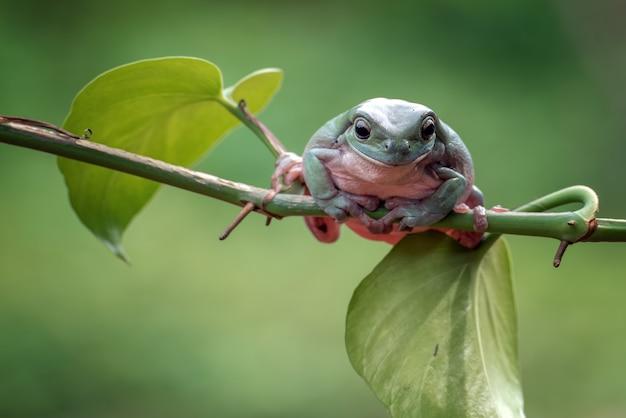Australischer weißer laubfrosch, der an der pflanze hängt