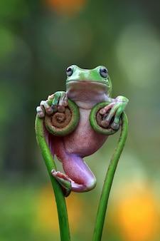 Australischer weißer laubfrosch, der auf ast steht, dumpy frosch saty cool auf ast, lustiger dumpy frosch auf ast, indonesischer laubfrosch