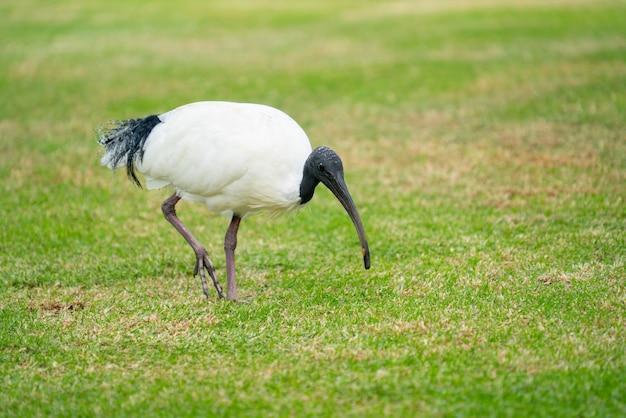 Australisches weißes ibis