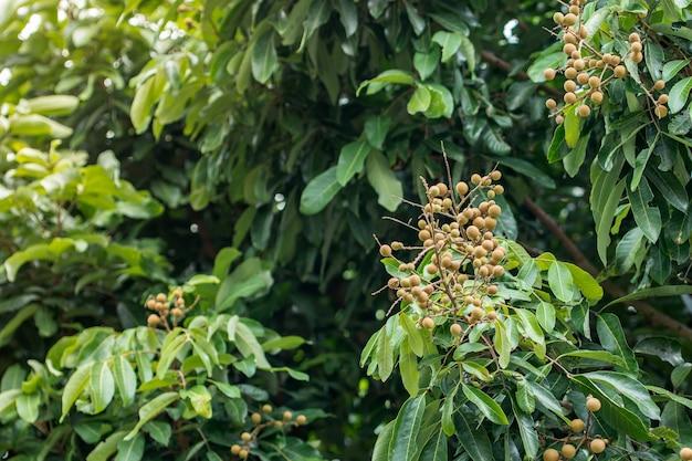 Auswirkungen von longan auf longan tree