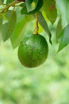 Avocado auf anlage oder rohe avocado auf frischem produkt des baums in thailands biohof