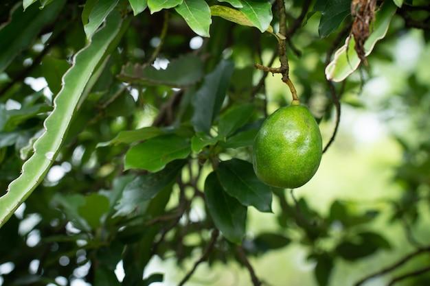 Avocado auf pflanze oder rohe avocado auf frischem produkt des baums in thailands biohof.