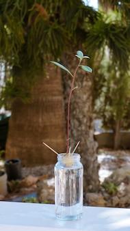 Avocado-stamm, der vom samen in der glasflasche wächst. sanfte grüne blätter und starke wurzel. vertikal