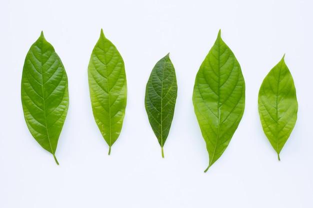 Avocadoblätter auf weiß.