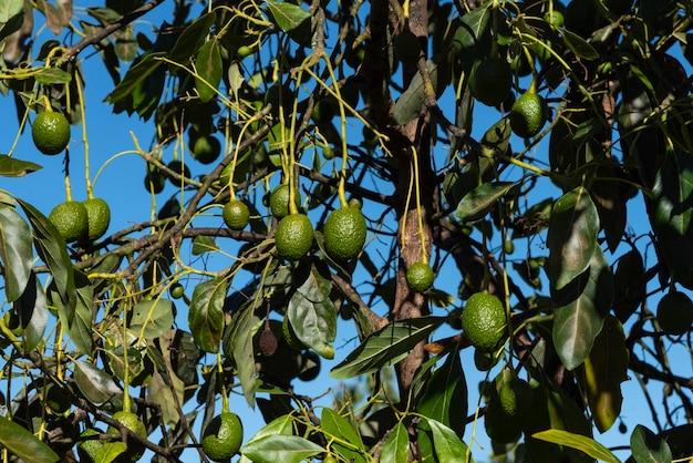 Avocados reifen auf großem avocadobaum