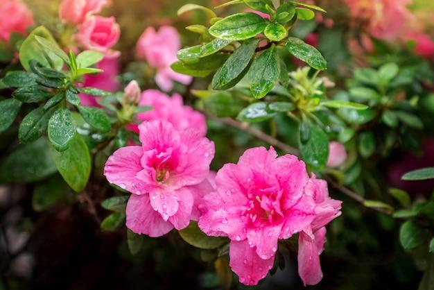 Azaleenpflanze mit rosa blumen blühen im garten