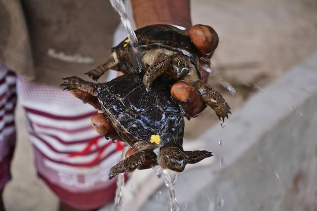 Baby aldabra schildkröten in einer brüterei auf der insel curiouse, seychellen