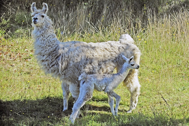 Baby alpaka steht vor großem alpaka auf einem feld
