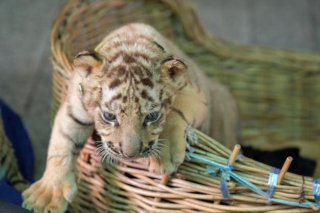 Baby bengal tiger mutwillig im korb