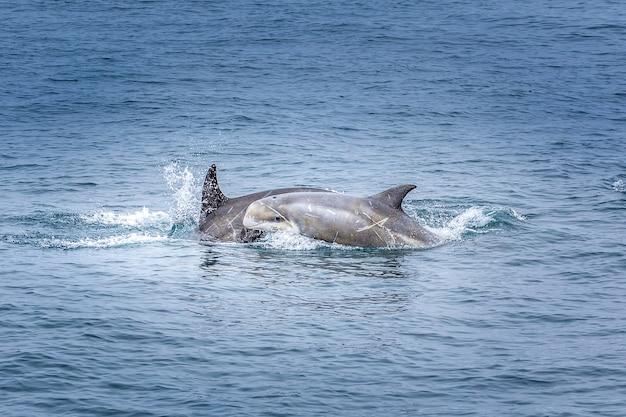 Baby dolphin mit ihrer mutter im pazifischen ozean