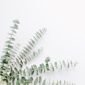 Baby-eukalyptuszweig auf weißem tabellenhintergrund