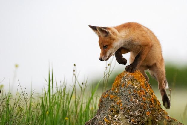 Baby fox. junger roter fuchs auf dem stein nahe seinem loch