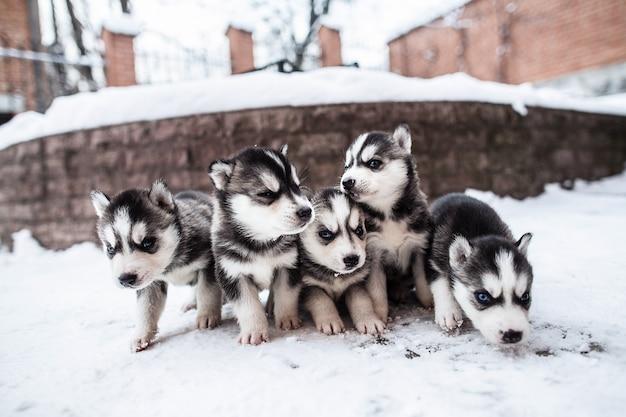 Baby-hunde