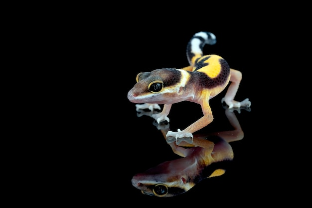 Baby leaopard gecko nahaufnahme in reflexion mit schwarzer oberfläche