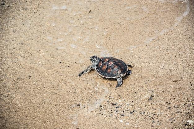 Baby-meeresschildkröte, die auf den strand kriecht.