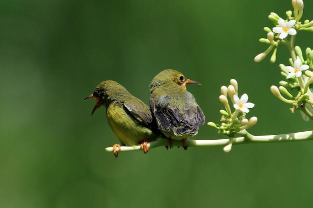Baby olivebacked sunbirds